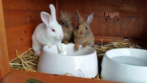 Conigli nani nutrizione